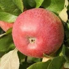 Online Fruit Trees For Sale - buy apple trees online crj fruit trees nursery uk