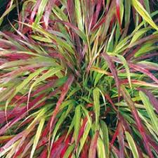95 best gardening ornamental grasses images on
