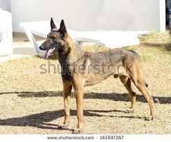 belgian shepherd lakenois fawn belgian shepherd malinois stock images royalty free images