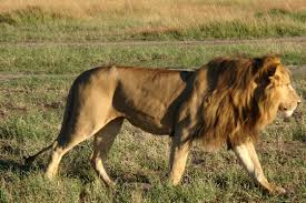 male lion wallpapers file african lion 3 jpg wikimedia commons