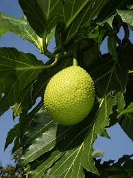 breadfruit wikipedia