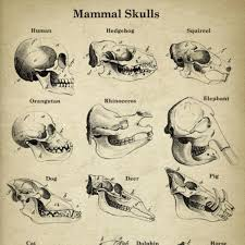 Dog Anatomy Poster Mammal Skulls Anatomy Book Plate Vintage Illustration U2013 Wild U0026 Arrow