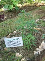 native pot plants cannabis in jamaica wikipedia