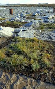 growing native plants falklands conservation sheep and native seeds can be a