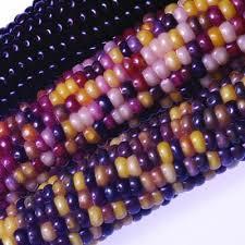 ornamental corn f1 harris seeds