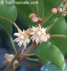 Fragrant Plants Florida - enchanted aromas fragrant plants of annonaceae family