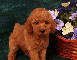 poodle y bichon frise sweetwater bichon puppies and toy poodle puppies new mexico home