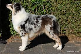 australian shepherd 8 months charm