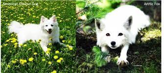 american eskimo dog in india 11 dogs that look like a fox pethelpful