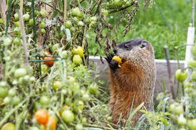 how to keep critters out of your garden ways to keep animals out
