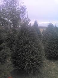 the trees sickels tree farm lynn in
