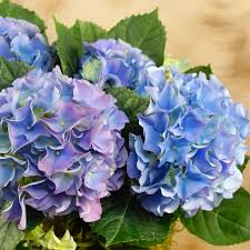 bulk hydrangeas fresh bulk purple hydrangea stems 2 69 to 2 84 per stem