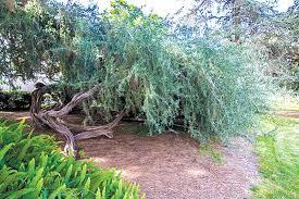 the top ten trees of balboa park san diego reader