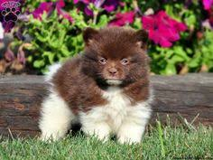 puppies for sale pa bruster pomeranian puppy for sale in christiana pa