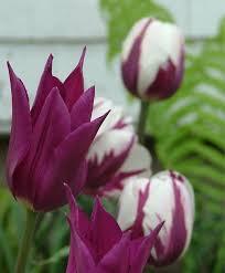 Purple Lily Flower Tulip Purple Dream Lily Flowering Tulips Tulips Flower Bulb