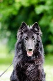 belgian shepherd dog free photo groendendael belgian shepherd dog free image on