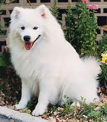 american eskimo dog training american eskimo dog breed