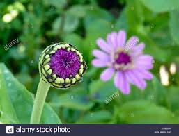 zinnia bud in flower garden yarmouth maine usa stock photo