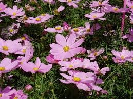 japanese native plants cosmos plant wikipedia