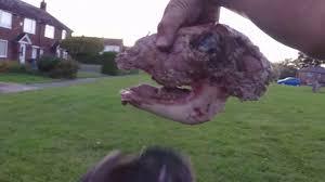 french bulldog raw feed barf sheep head raw diet youtube