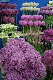 allium flowers allium