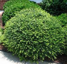 Small Shrubs For Front Yard - best 25 low maintenance shrubs ideas on pinterest front