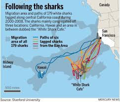 Map Of Bay Area Great White Sharks At Times Enter San Francisco Bay U2013 The Mercury News