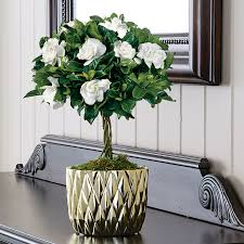 gardenia gift plants sweet summery perfume right in your home