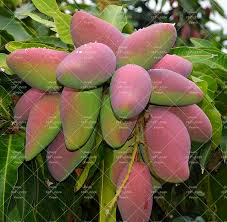 Mango Boom 1 stks zeldzame mango zaden bonsai mango boom zaad biologische