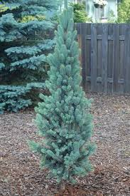narrow blue spruce search columnar trees for tight