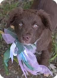 australian shepherd adoption denver co australian shepherd meet dakota a dog for adoption