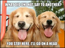 Golden Retriever Meme - are golden retriever pups good at memes these 8 fur balls are the