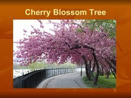 japanese music by franz u0026 heather cherry blossom tree ppt