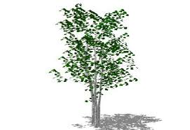 sketchup components 3d warehouse plants summer birch tree