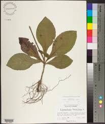 plants native to alabama elephantopus tomentosus species page apa alabama plant atlas