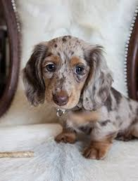 australian shepherd dachshund 10 reasons why dachshunds are the masters of getting into trouble