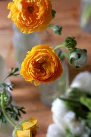 Ranunculus Gardening 101 Ranunculus Gardenista
