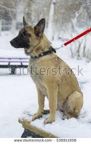 belgian shepherd lakenois sitting belgian shepherd malinois puppies stock images royalty