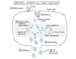 Symptoms Of Viral Diseases In Plants - intro to viruses article viruses khan academy