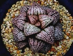 plats cuisin駸 多肉植物 ハオルチア ピクタ 踊り子 親苗 succulents