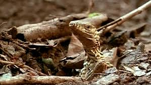 bbc two natural world 2011 2012 komodo secrets of the dragon