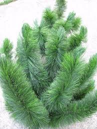 artificial scotch pine trees part 21 scotch pine