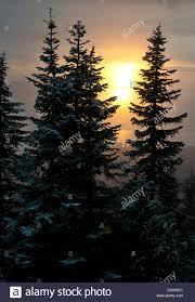 tall evergreen trees stock photos u0026 tall evergreen trees stock