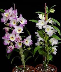dendrobium orchid dendrobium nobile orchid hybrid orchidweb