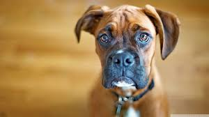 Wallpaper Dogs Sad Boxer Dog Hd Desktop Wallpaper High Definition Fullscreen
