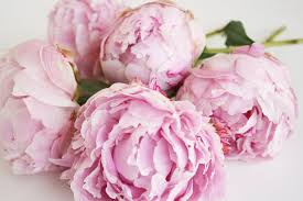 Peonies Delivery Floral Department Archives Trapp And Company