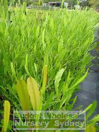native plant nursery sydney dodonaea viscosa green australian native 200mm pot budget
