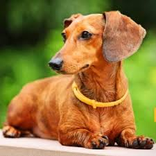 best dog food for dachshunds nutritionally balanced diet for wieners