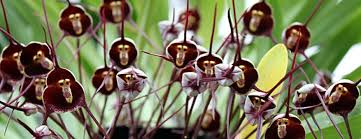 monkey orchids monkey orchids the garden of eaden
