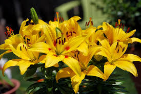 Yellow Lilies Yellow Lilies In A Bunch Photograph By Ric Potvin
